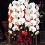 胡蝶蘭(白)