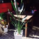 観葉植物(レギネ・極楽鳥花)