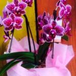 おばあちゃんへのお誕生日のプレゼント(^^)可愛い胡蝶蘭です!母の日にいかがでしょう(^^)